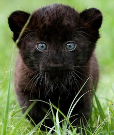 Baby black panther - gorgeous creature!