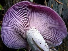 Perfect Purple Blewit Gills by camfortin #EasyNip