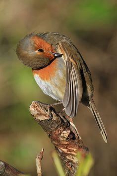 Tiny Bird, Small Birds, Little Birds, Colorful Birds, Pet Birds, Red Robin Bird, European Robin, Wild Animals Pictures, Robin Redbreast