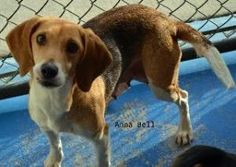"""GEORGIA ~ URG'T ~ meet Anna Bell ~ a 5yr old #adoptable #Beagle  #dog in Danielsville. I'm a moma Beagle- & all of us were surrendered to the shelter who think Dad was a BlueTick 'cuz my puppies  pretty colors. We're looking for loving homes. Can't #adopt? Sponsor me for 35.00 & I can get """"fixed"""" then I can go to #adoption events- . Im at Madison Oglethorpe Animal Shelter  1888 Colbert-Danielsville Road   Danielsville, GA 30633   PH 706-795-2868   moaspets@gmail.com"""