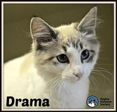 Drama* is an adoptable Ragdoll Cat in Regina, SK. I'M A KITTEN - I'm quite the inquisitive, playful kitten. I may run around the house at all hours, climb your drapes and knock things over, but that's...