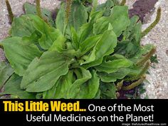 healing properties of a little known weed called plantain. Plantain has been used by naturalists for years. Used to cure anything from a bee...