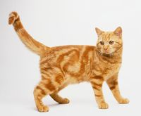 picture of marmalade cat