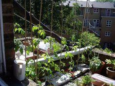 #Urban #gardening  |  #rooftop tomatoes