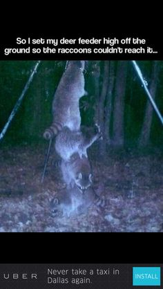 Raccoon geniuses ! Raccoons, Funny Images, Best Funny Pictures, Funny Animals, Cute Animals, Deer Feeders, Dog Boarding, Fur Babies, Animal Pictures