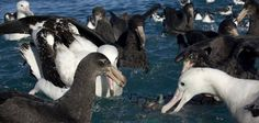 BirdLife lends expertise to make high seas tuna fisheries sustainable This project should make a real difference to albatrosses and sea tu...