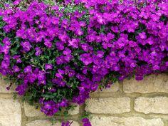 Das schöne Blaukissen - Pflanzenfreude.de  #mauerblümchen #bodendecker #aubrieta #garten #garden #outdoors