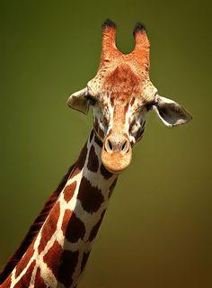 The Giraffe, photograph by Shikhai Goh