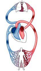 La sangre describe dos circuitos complementarios llamados circulación mayor o general y menor o pulmonar... Pulsa para más información