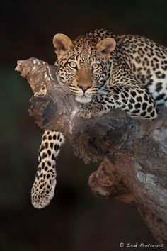 Isak Pretorius Wildlife Photography