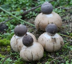 Geastrum Minimum by Ray Purser Photography