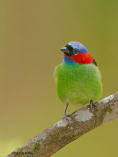 Red-necked Tanager / Tangara cyanocephala by Julio Silveira on 500px
