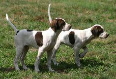 Elhew Pointer pups