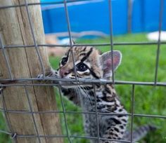 It would be a dream of mine to work up close and personal with a clouded leopard. It would be something I'd never forget.