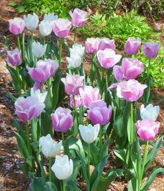 TULIPS, TULIPS AND MORE TULIPS!