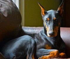 Dobie on the couch!!