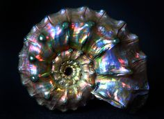 Opalized and pyritized ammonite fossil.
