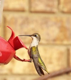 Ruby-throated Hummingbird female at the feeder.
