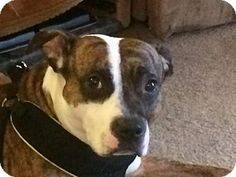 11/27/14 Willingboro, NJ - Boxer/Staffordshire Bull Terrier Mix. Meet Champ, a dog for adoption. http://www.adoptapet.com/pet/11997568-willingboro-new-jersey-boxer-mix