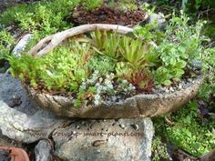 The lovely result of combining hypertufa, twigs and hardy succulents.See the tutorial here. A Tuturial on How to Make Twig Handled Hypertufa Baskets; unique garden crafts to display hardy succulents and tiny sweet alpine plants; get started now. Rustic Planters, Concrete Planters, Garden Planters, Succulents Garden, Concrete Molds, Planting Flowers, Rustic Gardens, Unique Gardens, Outdoor Gardens