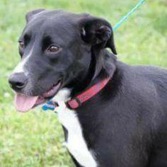 Lost Dog - Labrador Retriever - Ashtabula, OH, United States 44004