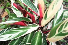 Tricolored ginger