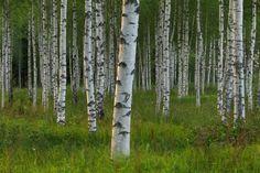 Björk skog i Dalarna, Sverige