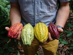 The scientific name for Cacao Fruit is Theobroma, literally translated as 'food of the gods', because of its ability to energize happiness. Suavva is the first and only beverage using this powerful superfood as its primary ingredient. Love Chocolate, Chocolate Coffee, Fruit Trees, Trees To Plant, Cacao Fruit, My Favorite Food, Favorite Recipes, Cacao Smoothie, Cacao Beans