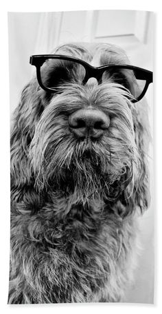 "Brown Roan Italian Spinone Dog Head Shot With Glasses Towel (Beach Towel (32"" x 64"")) by Heidi Anne Morris.  Our towels are great."