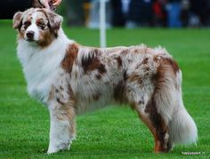 Australian Shepherd Red Merle with intact tail