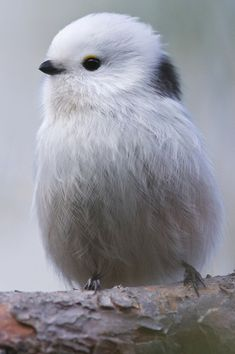 petitpoulailler: arctic-panda: The Cutest Bird by Kim Abel