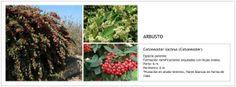 Cotoneaster lacteus (Cotoneaster)