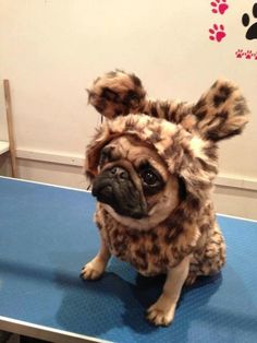 Roaring pug :-) #animalier #leopard #maculato #leopardato - Carefully selected by GORGONIA www.gorgonia.it
