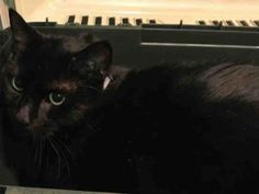 **UNKNOWN 08/30/16** ANOTHER CHANCE FOR LOVELY LUIE MAKE IT COUNT!!! LUIE NEEDS SOME HELP TONIGHT! Handsome and sleek black beauty LUIE was found wandering in a building and allowed his finder to pick him up and take him home. Luie got along with the finder's DOG but not so much with the resident cat. This FRIENDLY guy was then taken to ACC where it must have been reported that he scratched the finder. So after being on a DOH hold, Luie now finds himself on tomorrow's euth list. Luie earned…