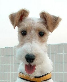 fox terrier - Google Search