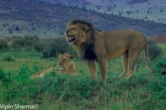A pair of pride in Mara. - Wildlife Photographer Community This wonderful shot taken by Vipin Sharma in Masai Mara and Shared on http://photos.wildfact.com , a website dedicated to wildlife lovers.  Click to view in full mode, Join the website and follow wildlife photographers http://photos.wildfact.com/image/411/a-pair-of-pride-in-mara  #Wildlife #WildlifePhotography #Photography #Lion