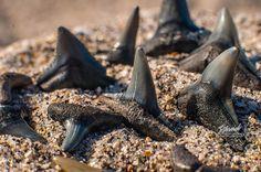 Sharks Teeth of Venice Florida