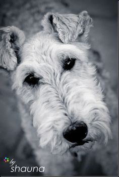 Wire haired fox terrier. I'm a sucker for a terrier!