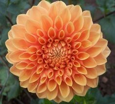 Maarn - Pure orange blooms with long stems and nice for fall Summer Flowers, Cut Flowers, Flower Names, Dahlia Flower, Belleza Natural, Pretty Pictures, Outdoor Gardens, House Plants, Flower Power
