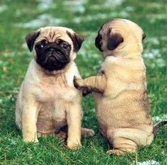 http://europug.eu/ Cute Beautiful Pug Puppy