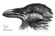 "Large crow in profile, 2012  57"" x 40"", ink, charcoal on white paper SOLD"
