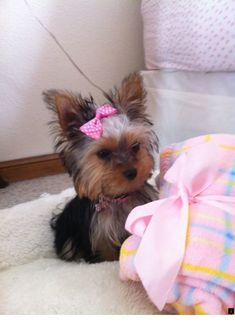 Yorkshire terriers are a little type of 'toy pet dogs' weighing a weak seven pounds as grownups. Their size is because of their origins as designated vermin killers. Teacup Yorkie, Teacup Puppies, Cute Puppies, Cute Dogs, Dogs And Puppies, Yorky Terrier, Yorshire Terrier, Bull Terriers, Yorkies