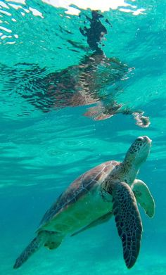 San Pedro, Ambergris Caye — Swim with the turtles in the world's second largest barrier reef. Visit our site for the best things to do in San Pedro, Belize! #unbelizeable #belize