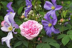 Rosa 'Queen of Denmark' with Clematis 'Prince Charles'