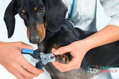 Learning how to use dog nail clippers and dog nail trimming, no matter how nice it sounds, is not just a beauty treatment, but an activity you should perform Cat Nail Clippers, Dog Clippers, Trimming Dog Nails, Cool Gadgets To Buy, Cat Nails, Diy Stuffed Animals, Dog Care, Dog Grooming, Funny Memes