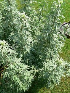 Wormwood: According to permaculture literature, wormwood is a natural pest repellent, so a handy way of keeping the chickens parasite-free is to grow wormwood in a spot where they can peck it but not destroy the plant. Could put it in a corner and circle it with chicken wire so branches will grow through.