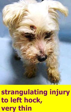 ***EVIDENCE OF CRUELTY SEEN**** SUPER URGENT JERSEY – A1108744  NEUTERED MALE, WHITE, POODLE MIN MIX, 10 yrs STRAY – EVALUATE, NO HOLD Reason STRAY  Intake Date 04/13/2017  http://nycdogs.urgentpodr.org/jersey-a1108744/