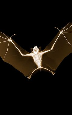 X-ray of a fruit bat by photographer Nick Veasey