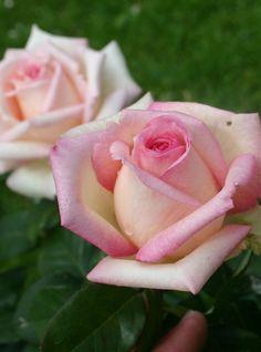 Hybrid Tea Rose: Rosa 'Souvenir de Baden-Baden' (Germany, 2000)