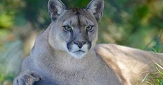 California Just Made A Huge Move To Protect Its Remaining Wild Cats